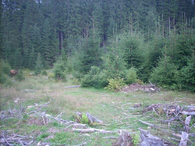 Forest Carpathian carpathien image libre de droits