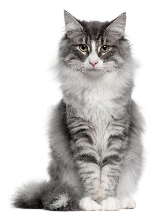 Forest Cat norvégien, 5 mois photo stock