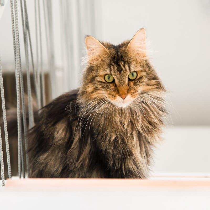 Forest Cat norvegese, gatto persiano fotografia stock libera da diritti