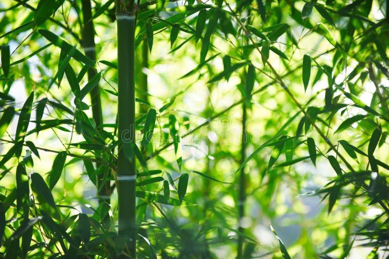 Forest In China de bambú verde imagen de archivo