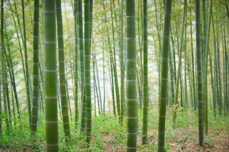 Forest In China de bambú verde imagenes de archivo