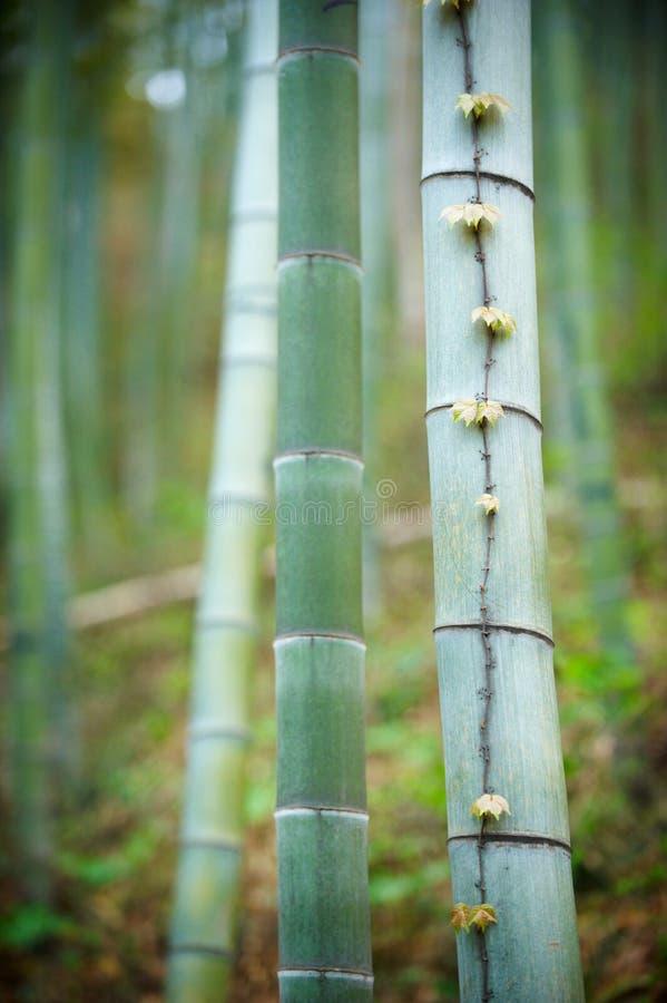 Forest In China de bambú verde foto de archivo libre de regalías