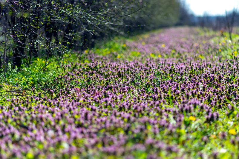 Forest clearing covered with dead nettle (Lamium purpureum) flowers in bloom, a common broadleaf lawn weed in the spring. Known as. Red dead-nettle, purple dead stock photos