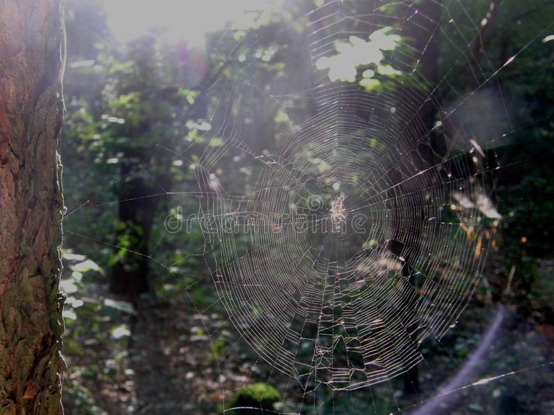Forest cobweb in the sunshine. Forest spider web in the morning sun stock photo