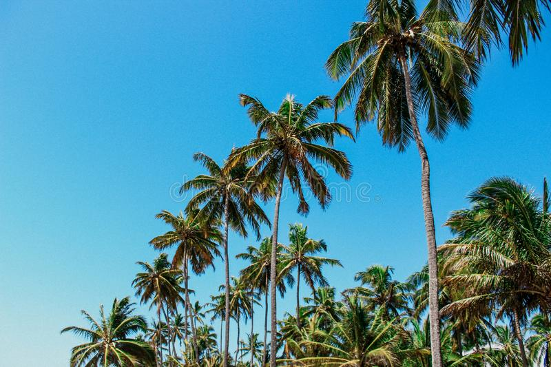 Forest of coconut trees stock photography
