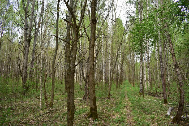 The forest comes alive after a long winter on the trees in addition to the kidney, there is a fresh green leaves stock photo