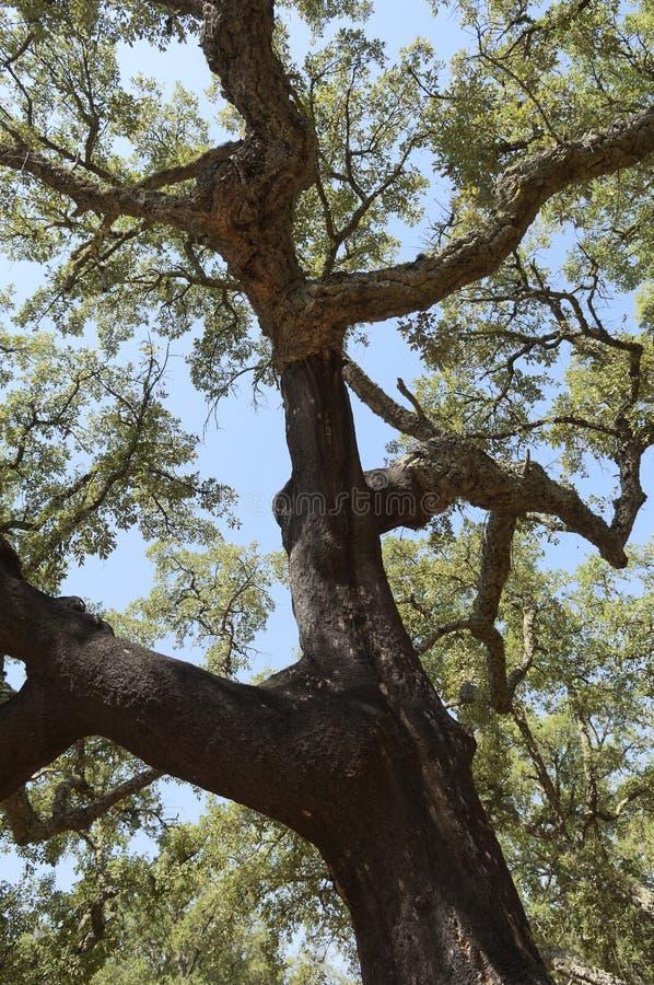 Cork Trees Royalty Free Stock Image