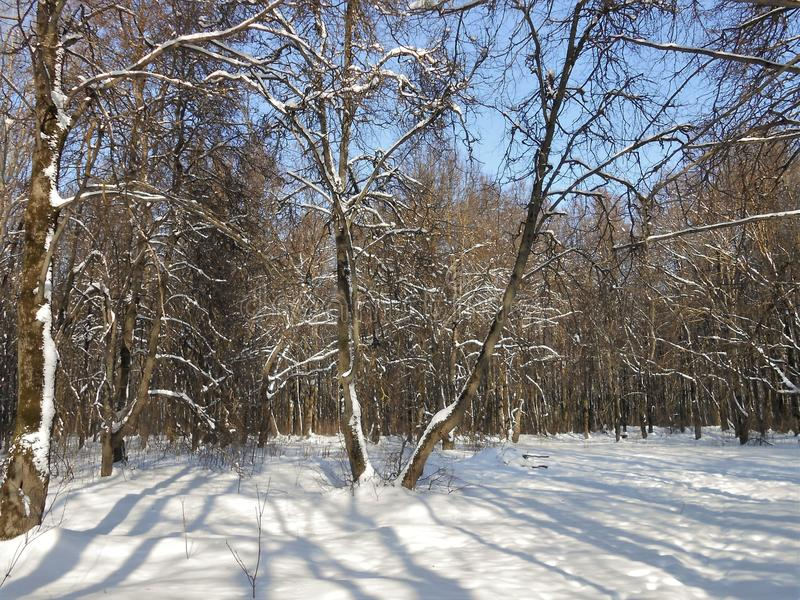 Forest covered with snow. stock photo