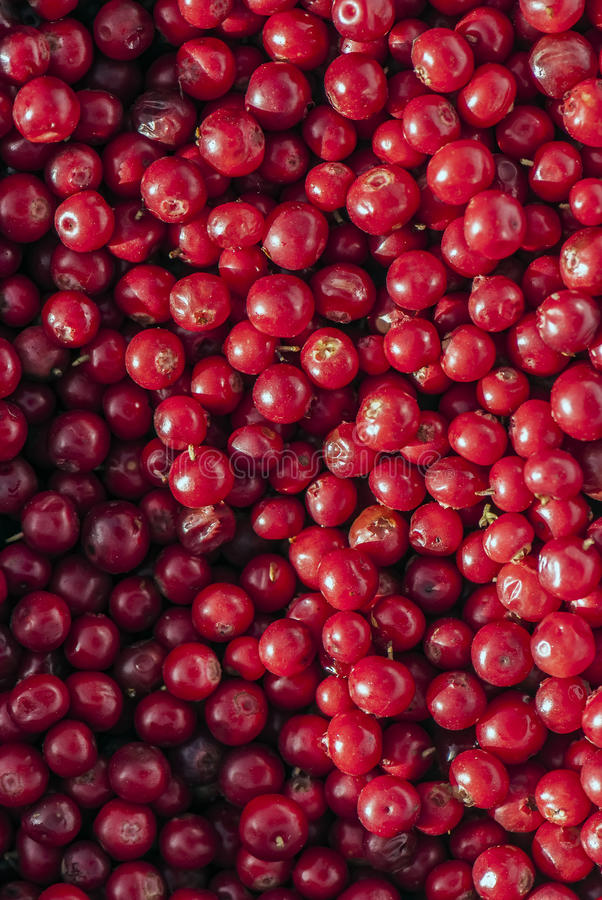 Forest cowberries (foxberries)... Close up photo of forest cowberries. Bright ruby juicy colors, good sharpness, quite low noise, natural view of stock photography