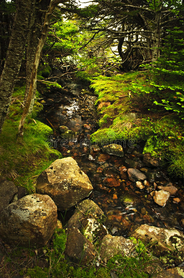 Forest creek. Small stream among fresh green summer forest in Newfoundland stock photography