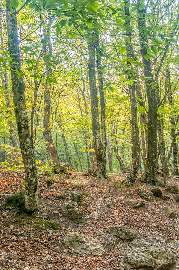 Forest in the Crimean Mountains, Russia. A beautiful forest. Crimean Mountains, Russia stock photos