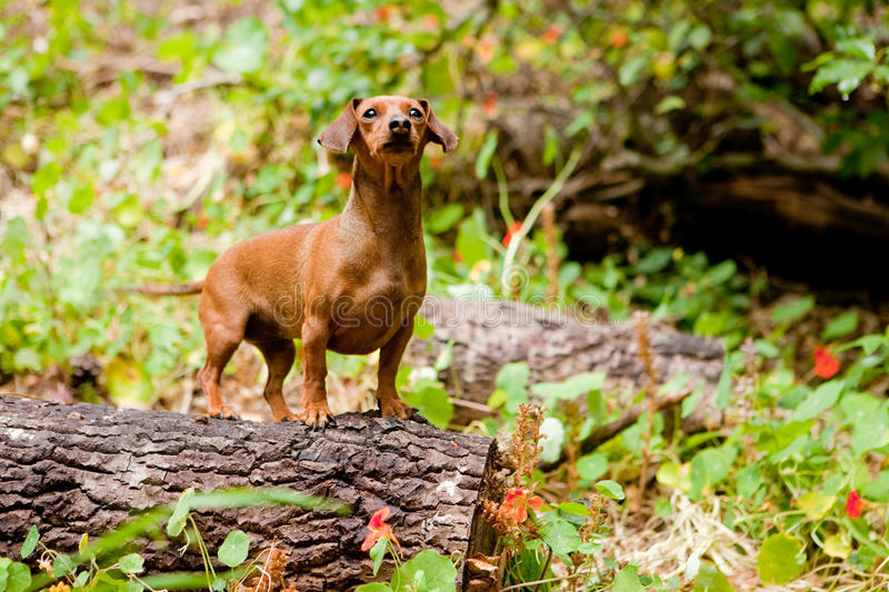 Forest daschund. Daschund on a log in a forest with flowers stock photography