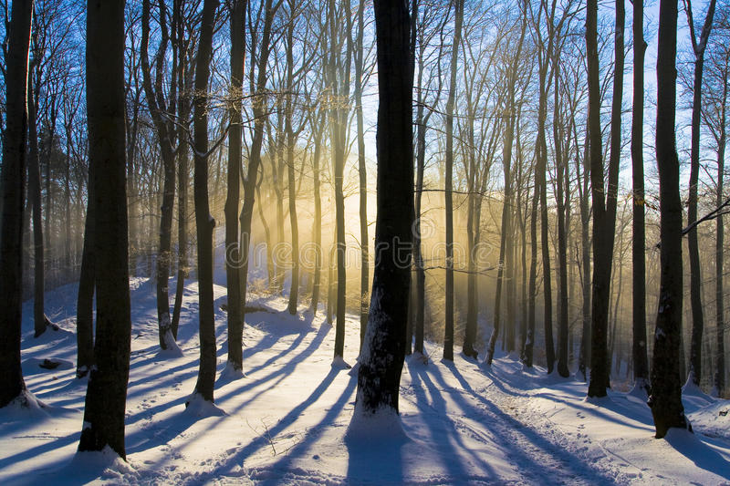 Forest dawn royalty free stock photo