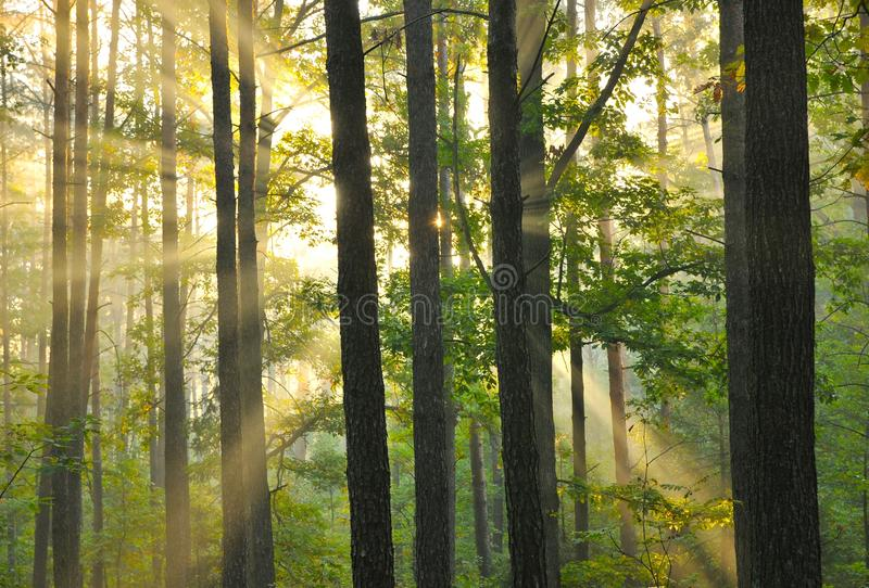 Forest dawn stock photos