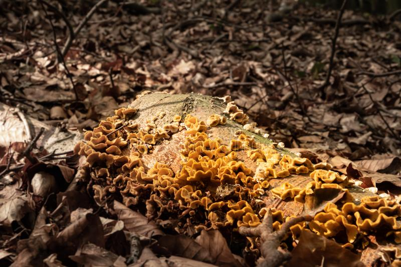 In forest on a dead tree trunk a yellow sulfur-porous tree fungus grows and around it lies much brown foliage. In a forest on a dead tree trunk a yellow sulfur royalty free stock image