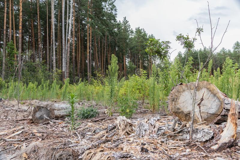 Deforestation. Depris and logs from clear cutting the forest stock image
