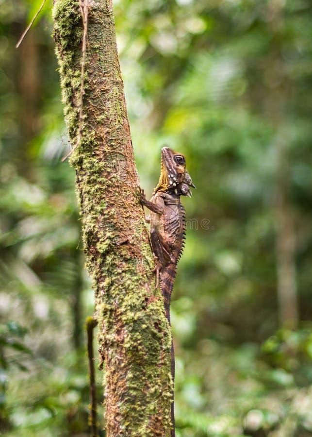 Forest Dragon van Boyd, Mossman-Kloof, het Nationale Park van Daintree, QLD stock afbeelding