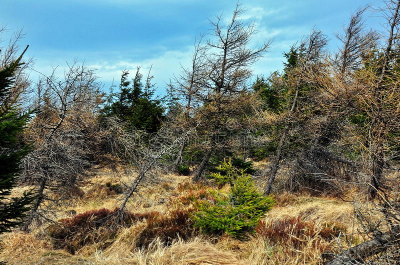 Forest, dry tree. Autumn, a trip through the mountains Izery in Poland stock photography
