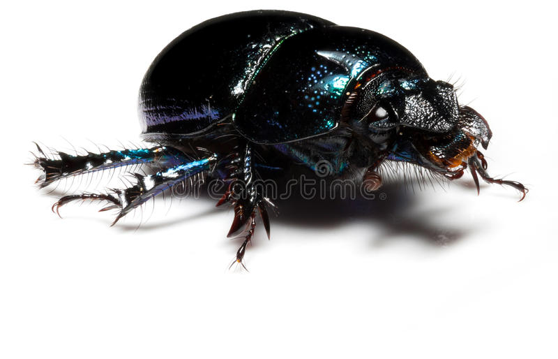 Forest dung beetle. Violet or blue forest dung beetle on white background stock images