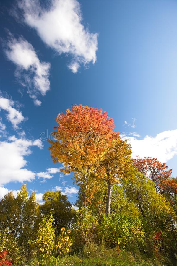 Forest in early autumn royalty free stock photo