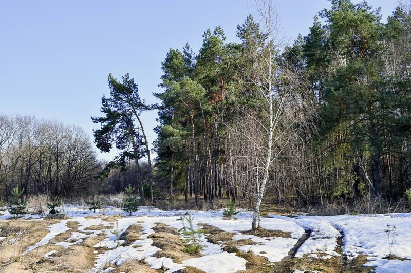 Forest in early spring with melted snow on a bright Sunny day. Landscape, background royalty free stock photography
