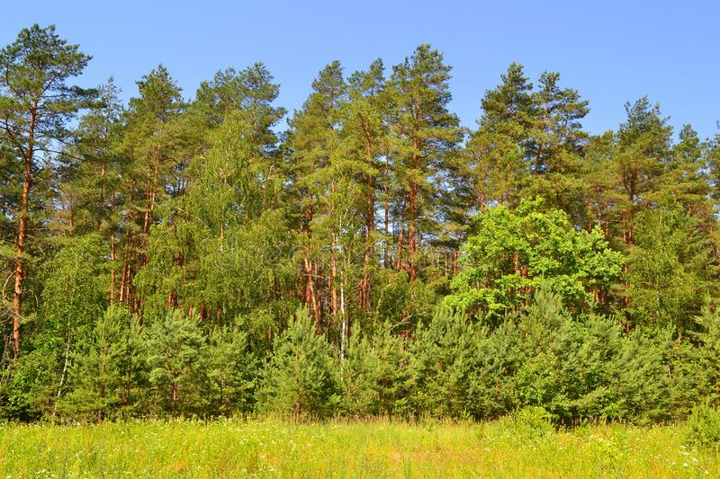The forest edge. wonderful summer weather in Belarus. The forest edge. wonderful summer weather, in Belarus stock photos