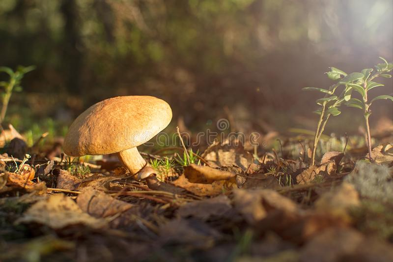 Forest Edible Mushroom cogumelo do bovinus imagens de stock