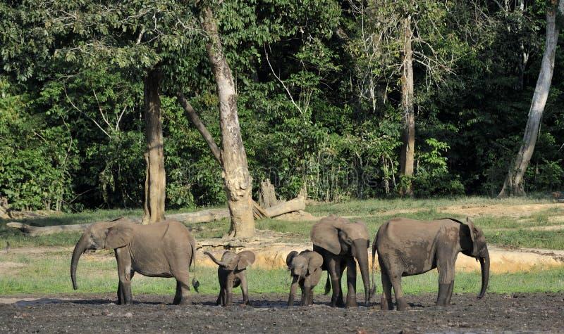 Forest Elephant africain, cyclotis d'africana de Loxodonta, (éléphant de logement de forêt) de bassin du Congo Chez le Dzanga sal photo stock