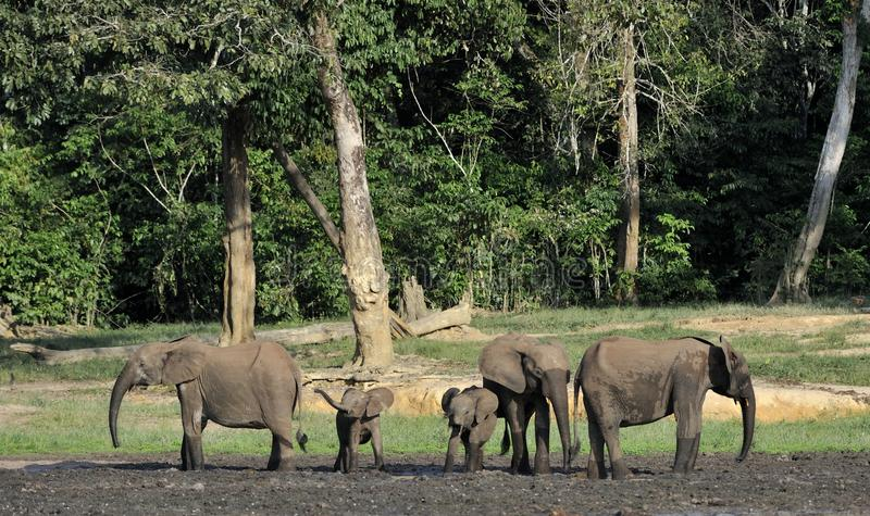 Forest Elephant africano, cyclotis do africana do Loxodonta, (elefante da moradia da floresta) da bacia de Congo No Dzanga salino foto de stock
