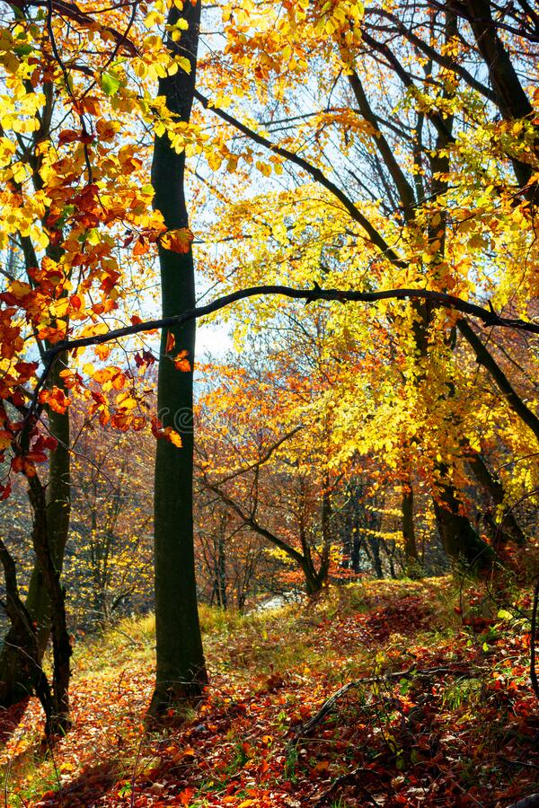 Forest in fall foliage. beautiful nature background on a sunny autumn day royalty free stock photo