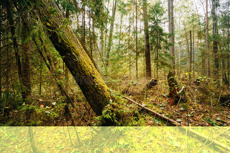 Forest Fallen Trees In Coniferous selvagem Forest Reserve imagens de stock royalty free
