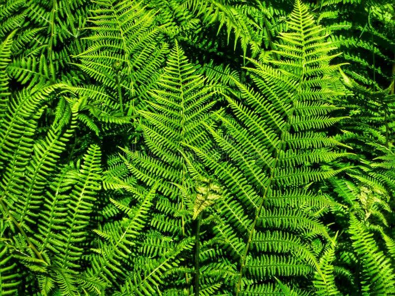 Forest Fern Il se développe dans des secteurs humides et louches de la forêt images stock