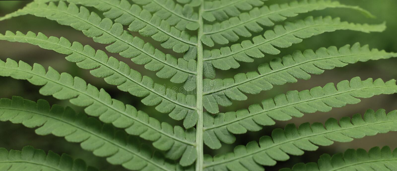 Forest fern leaf close up.  Natural green background. stock photo