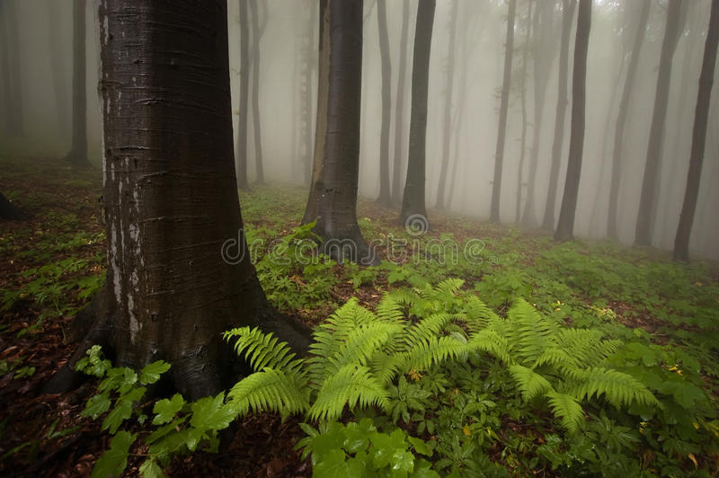 Forest with fern plant and fog royalty free stock image