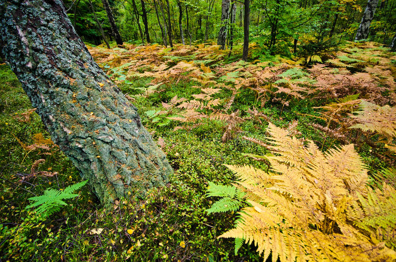 Download Forest with ferns stock image. Image of autumn, fall - 27810801