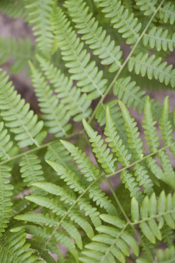 Forest Ferns i sommaren arkivfoto