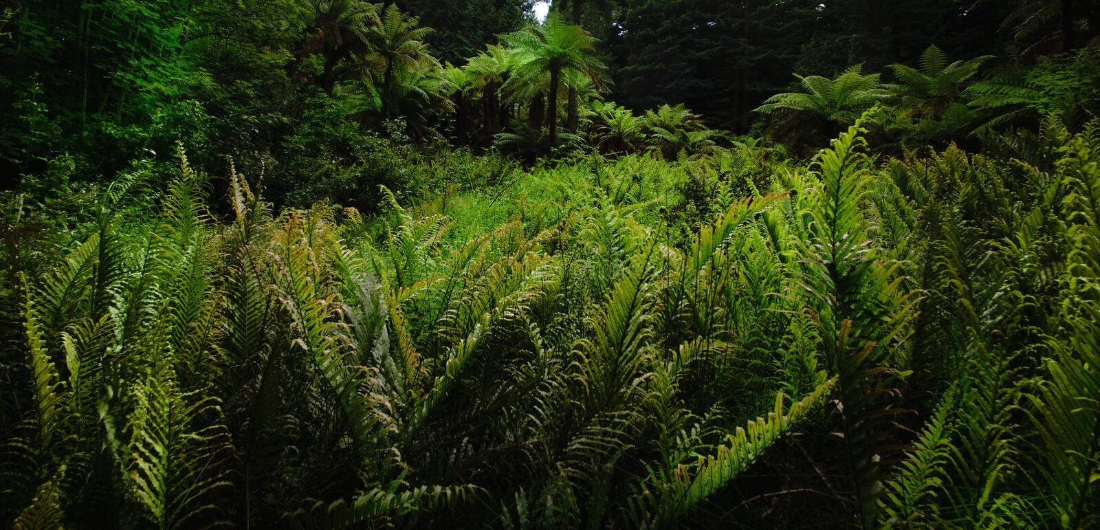 Forest Ferns 1. MS- Lush green fertile fern forest in the Thermal Plateau of New Zealand. Rotorua stock image