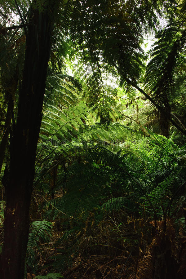 Forest Ferns 2. MS- Lush green fertile fern forest in the Thermal Plateau of New Zealand. Rotorua royalty free stock photos