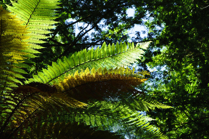 Forest Ferns 4. MS- Lush green fertile fern forest in the Thermal Plateau of New Zealand. Rotorua royalty free stock photos