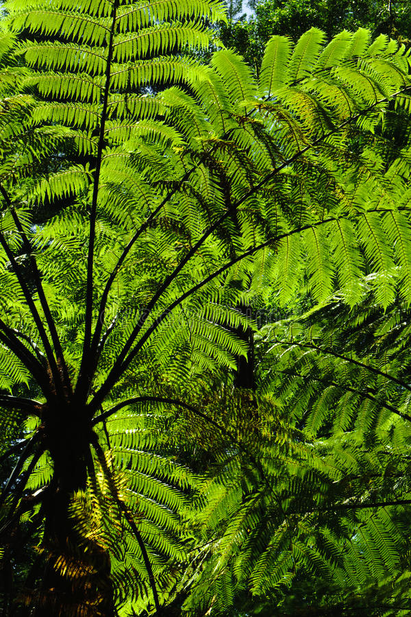 Forest Ferns 2. MS- Lush green fertile fern forest in the Thermal Plateau of New Zealand. Rotorua. Backlit stock image