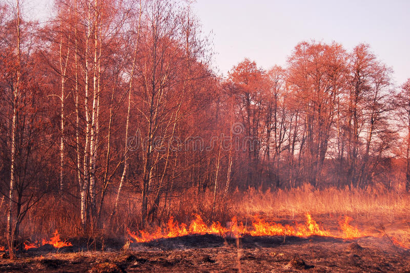 Forest in fire stock image