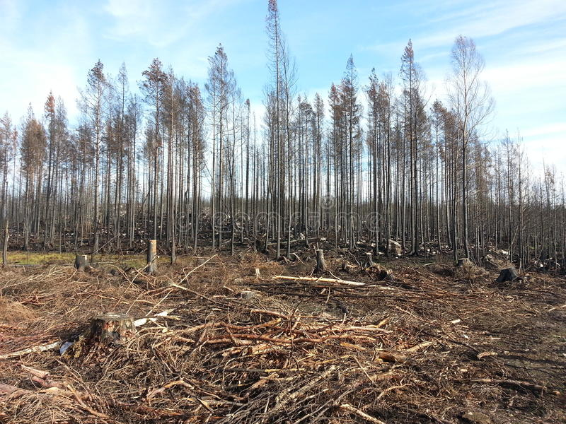 Forest fire. Remains of the big forest fire 2014 in Västmanland, Sweden. Cut trees and scorched trees stock image