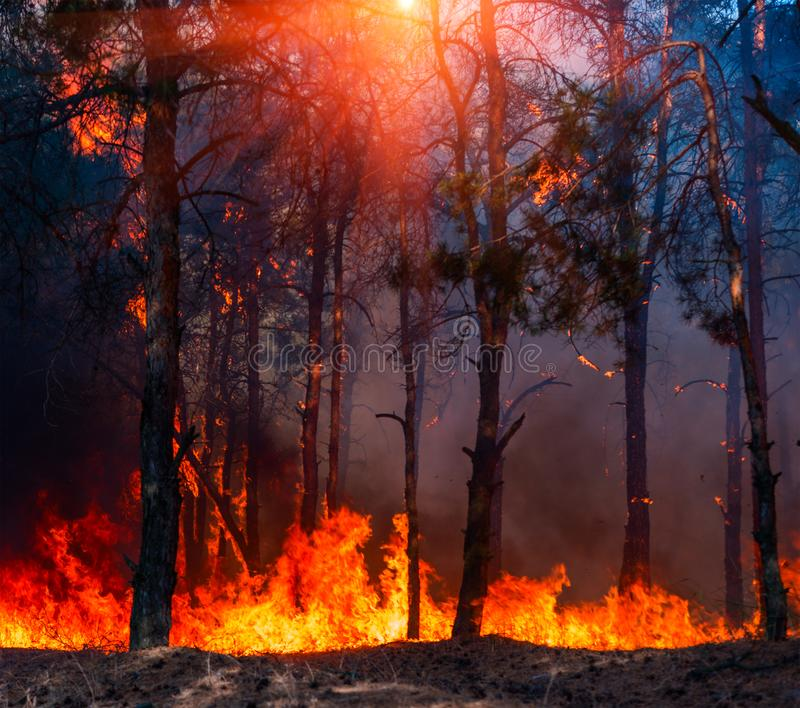 Forest Fire, Wildfire burning tree in red and orange color royalty free stock photography
