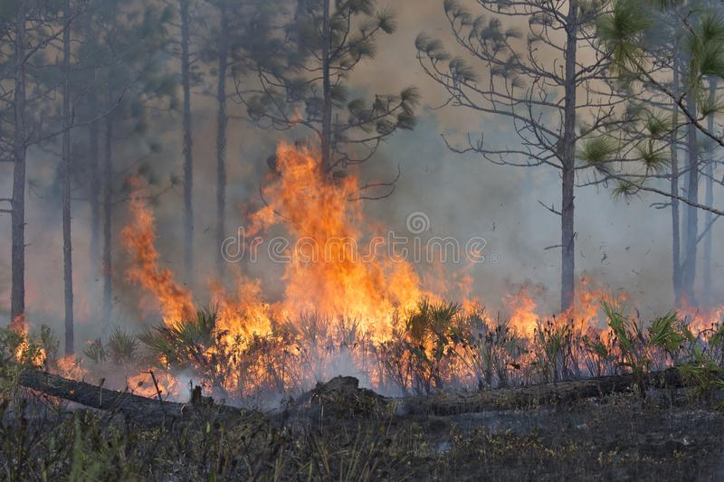 Forest Fired Under Controlled Conditions royaltyfria foton