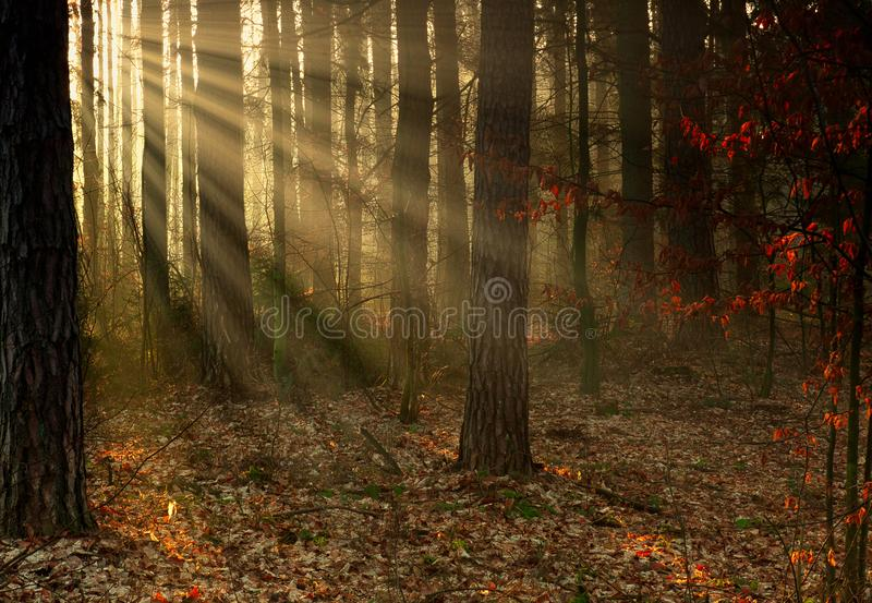 The forest in the first rays of the sun stock images