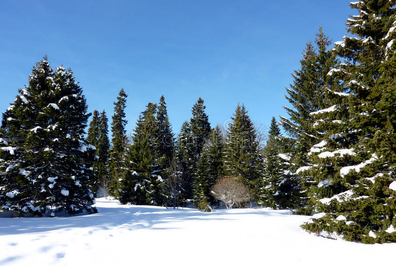 Download Forest Of Firtree By Winter Stock Photo - Image: 13071850