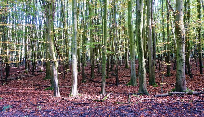 Forest Flevoland in autumn. Trees and leaves in autumn, in Flevoland Netherlands stock photo