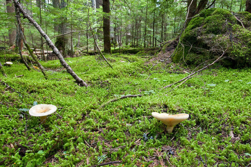 Forest Floor. Moss Covered Forest Floor with Wild Mushrooms in Foreground royalty free stock photo