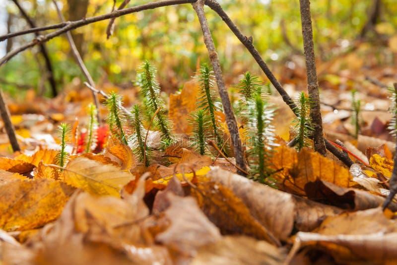 Forest floor closeup. Tiny new growth break through the deep golden leaf ground cover stock photos
