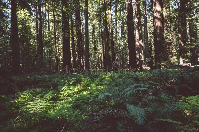Forest floor showing ferns and other vegetation in Redwood National Park in California stock photo